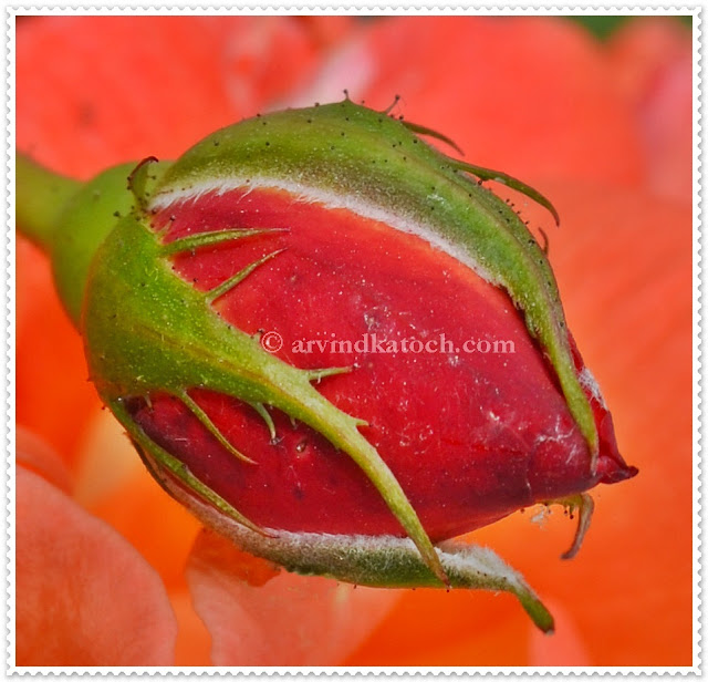 Close up, Rose, Bud, Opening bud, Red Rose