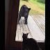 Η μαύρη αρκούδα πλησιάζει την πίσω πόρτα του σπιτιού. Η γάτα όμως σώζει την κατάσταση!