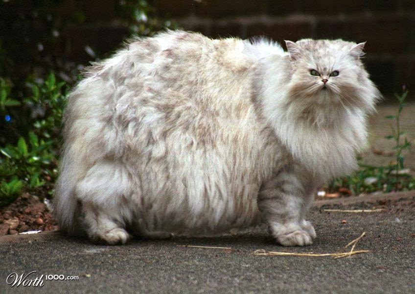 maine coon cat purebred