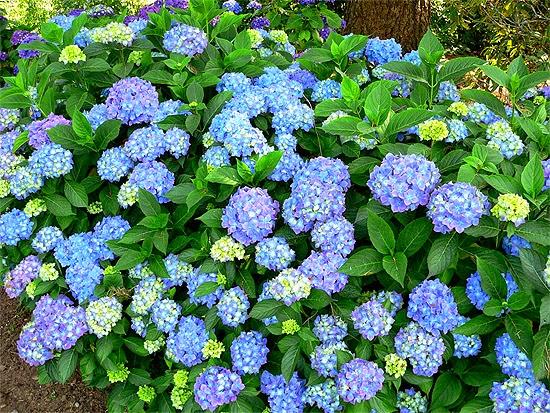 Foto Gratis: Flor, Hortensia, Rosa, Planta Imagen gratis en  - Fotos De Flores De Hortensias