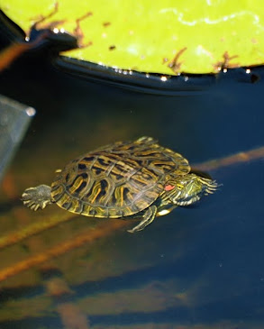 Red-eared Slider, Texas 371
