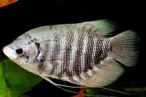 Cara Beternak Ikan Gurame