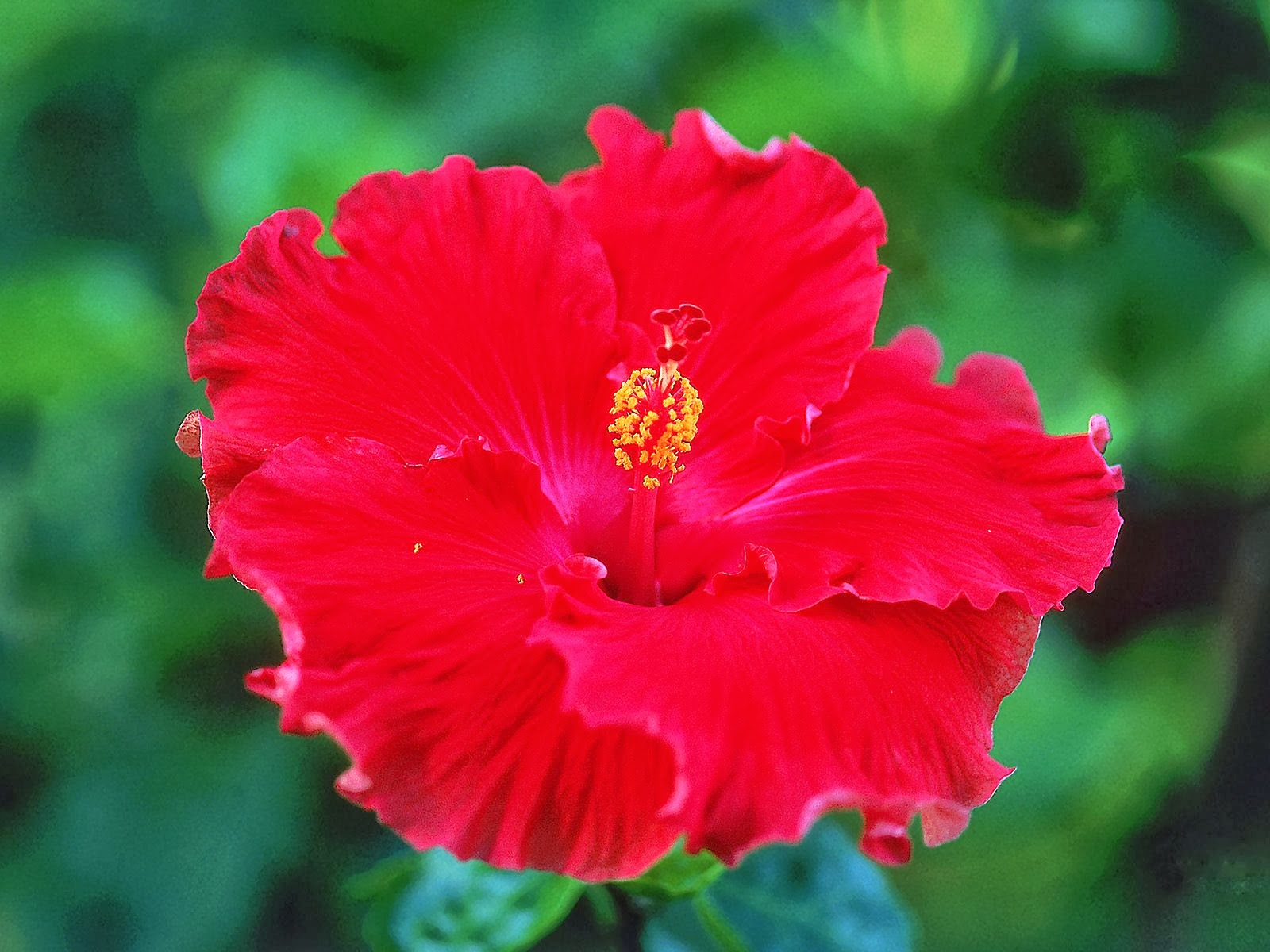 Hibiscus Flowers Wallpapers