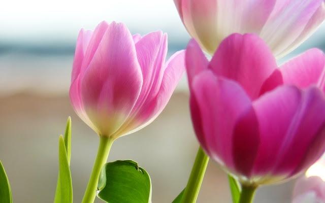 Tulipanes Rosados Imágenes de Flores HD