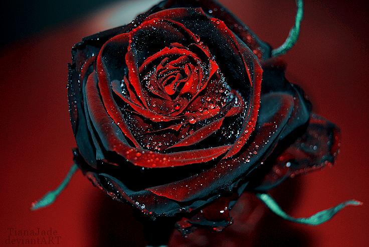 фото черной розы на красном