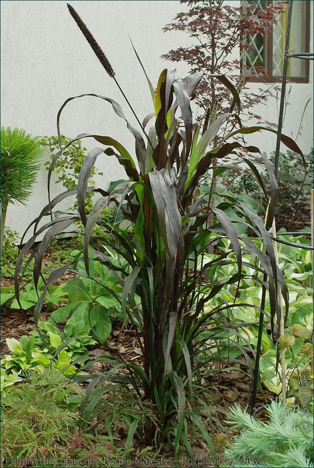 Pennisetum glaucum 'Purple Majesty' - Rosplenica perłowa, proso afrykańskie