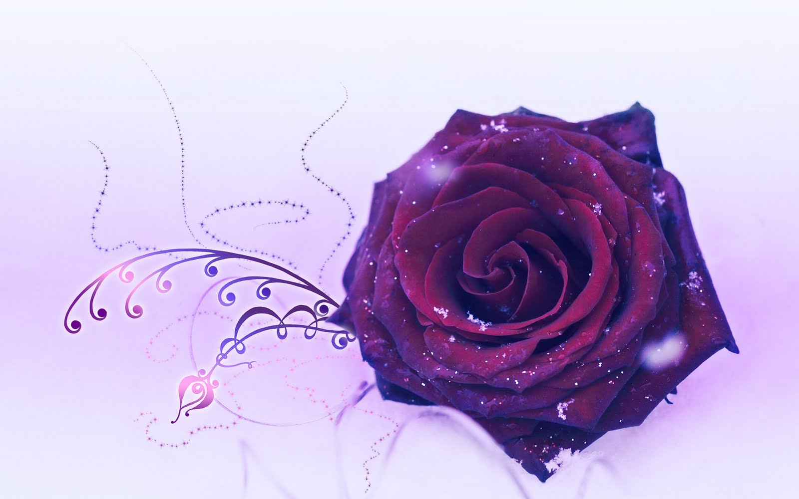 Beautiful Rose Flower Wallpaper Backgrounds Desktop