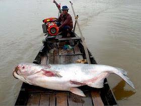 idegue-network.blogspot.com - 9 Monster Sungai yang Hidup di Perairan Dunia