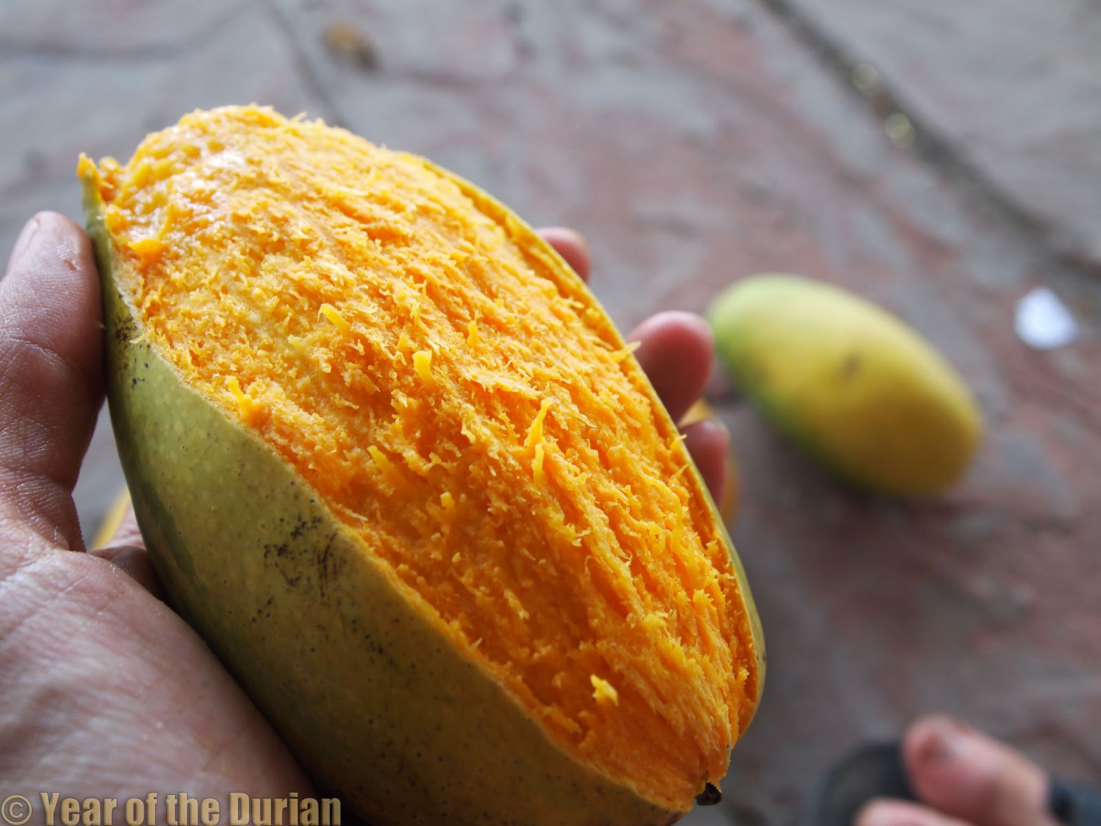 essay of mango tree Mango (mangifera indica) is the national fruit of india this essay provides interesting information and facts on mango, the king of fruits.
