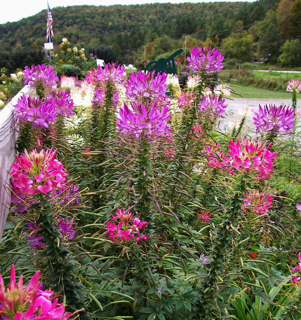 The Vermont Gardener Cleome Continues