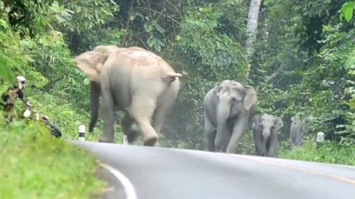 Gajah naik minyak
