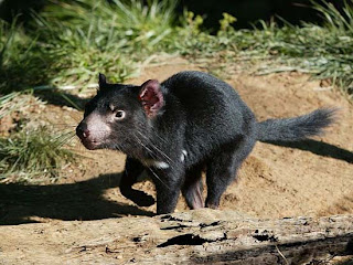 Foto Tasmanian Devils berlari