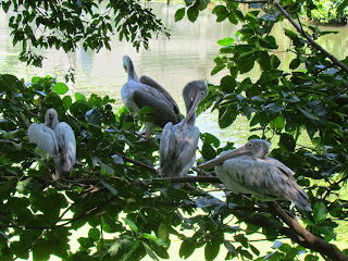 Pelikanen Colombo Zoo