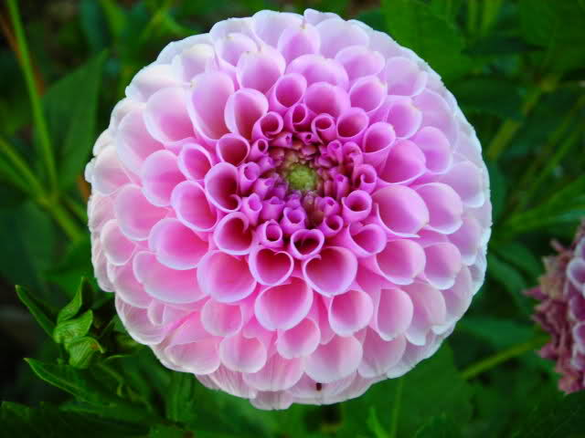 imágenes de flores y plantas dalia pompon