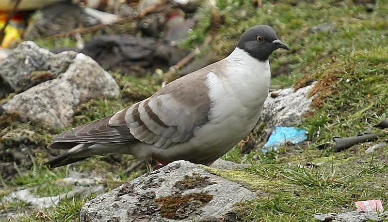 Snow pigeon Columba leuconota