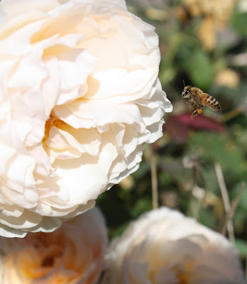 Bee, Rose, Fall, Honey, Sarah Myers, S. Myers, insect, flower, animal, English Rose, hover, autumn, yellow, gold, art, arte