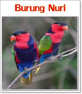 merawat dan melatih burung nuri agar cepat bicara