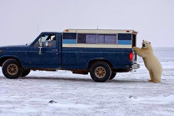 oso polar empujando carro