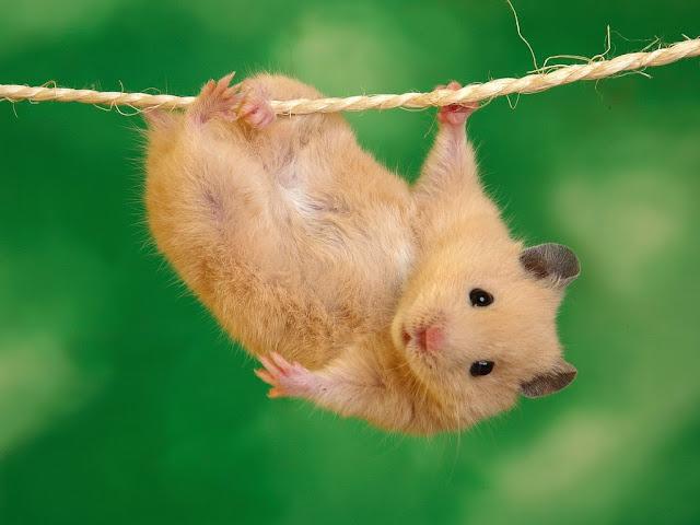 hamster Tarzan