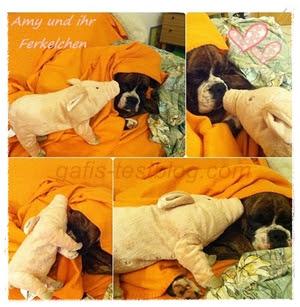 Boxer Amy und ihr Ferkelchen