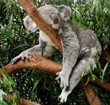 Koala durmiendo (ellos duermen casi todo el día entre 20 a 22 horas)