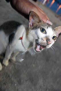 kucing ancol