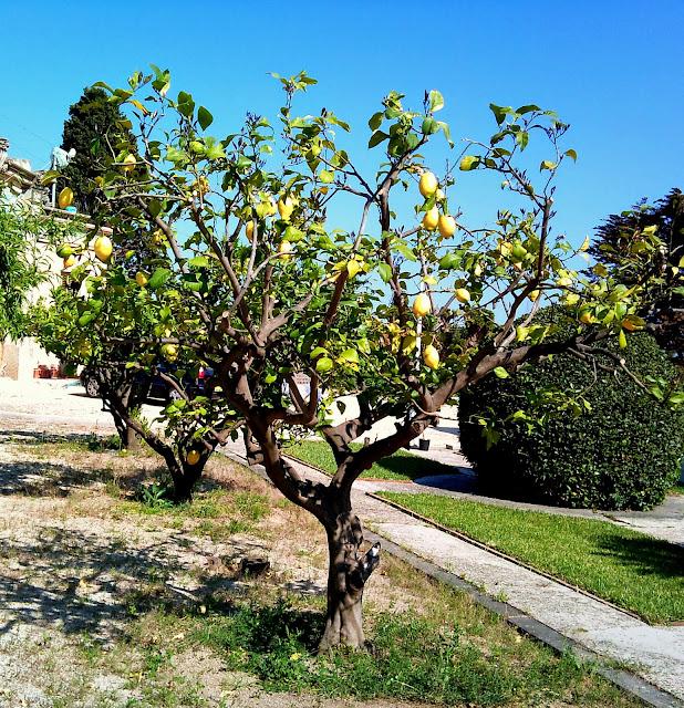 Rboles con alma limonero llimoner citrus limon limonero for Limonero sin limones