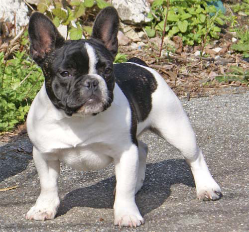 Boston Terrier Pictures