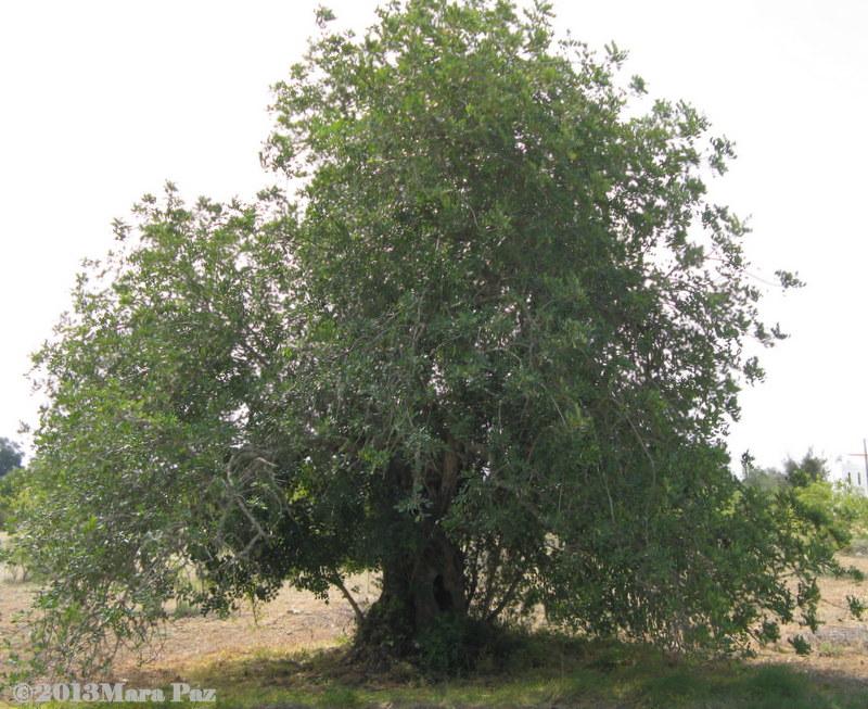 Algarve - carob tree