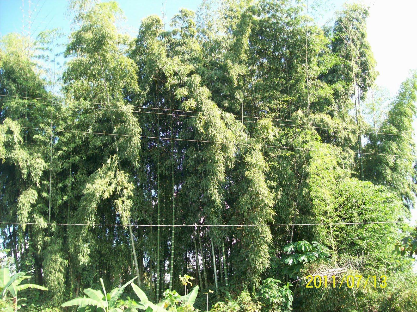 Agroper taller cultivo del bambu en aucayacu huanuco - Cultivo del bambu ...