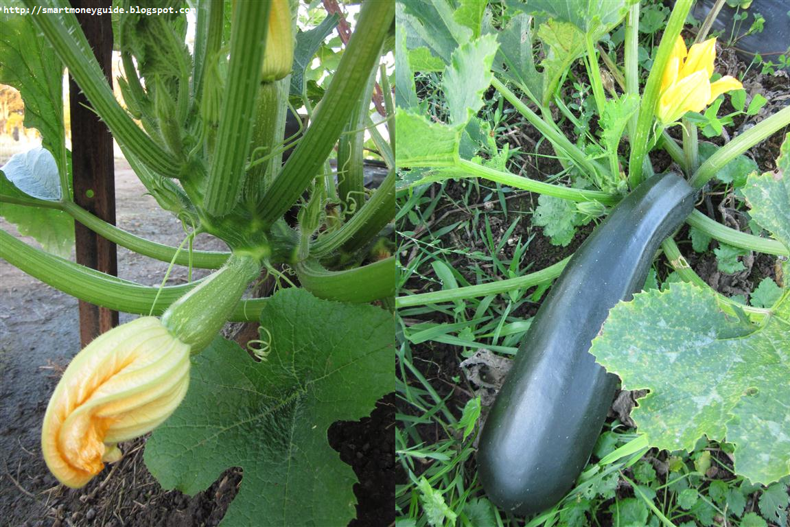 how to grow white zucchini