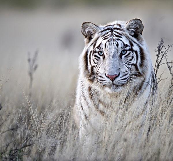 Pin Pin Tigre Blanco Tatuaje Significado Tiger Tattoos On ...