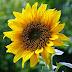 Sejarah, Manfaat dan Kandungan Nutrisi Bunga Matahari