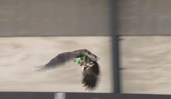 Germans Training Eagles to Catch Drones