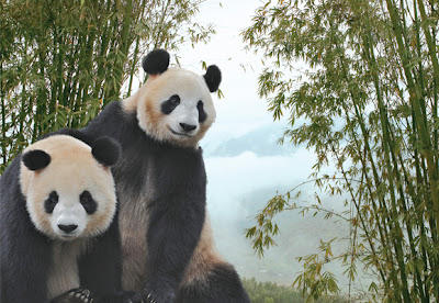 Panda Pair To Arrive in Singapore Next Month