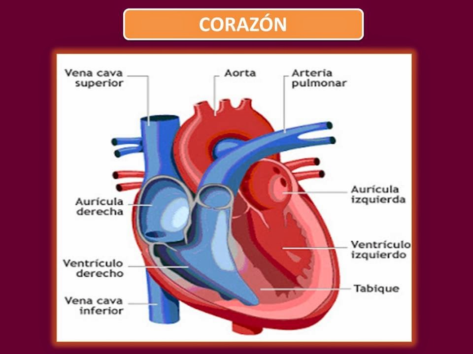 Excelente Estructura Del Corazón Ilustración - Imágenes de Anatomía ...