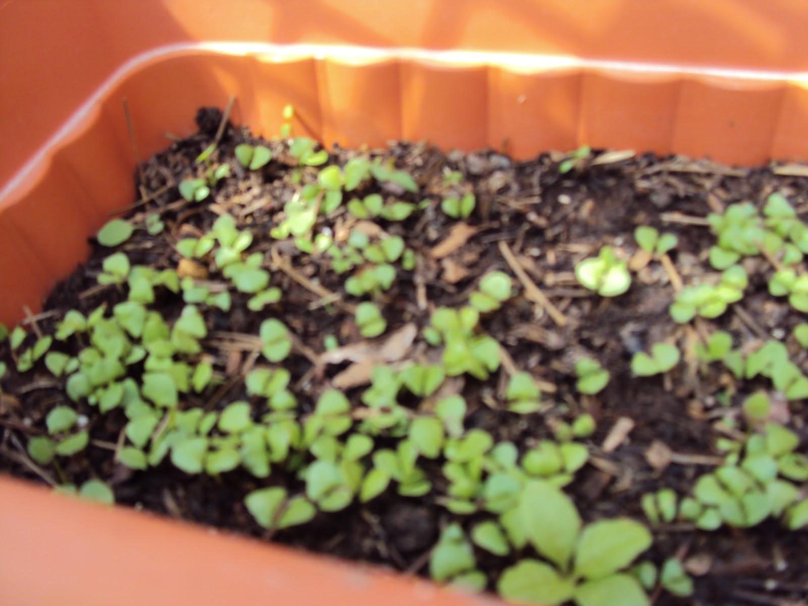 Arom ticas cultivo de la albahaca i for Cultivo de albahaca en interior