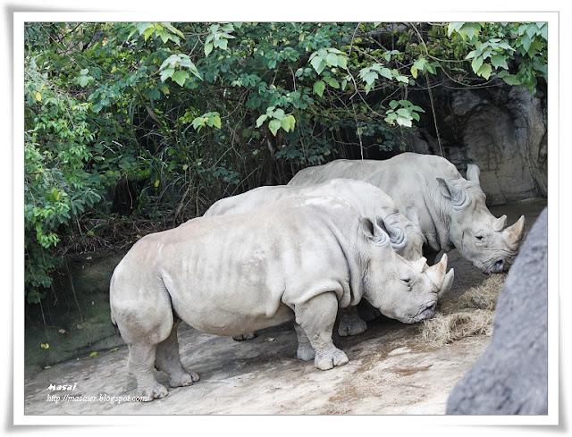 木柵動物園Taipai Zoo-犀牛