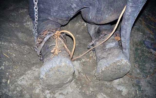 Un elefante llora al ser rescatado en la India.