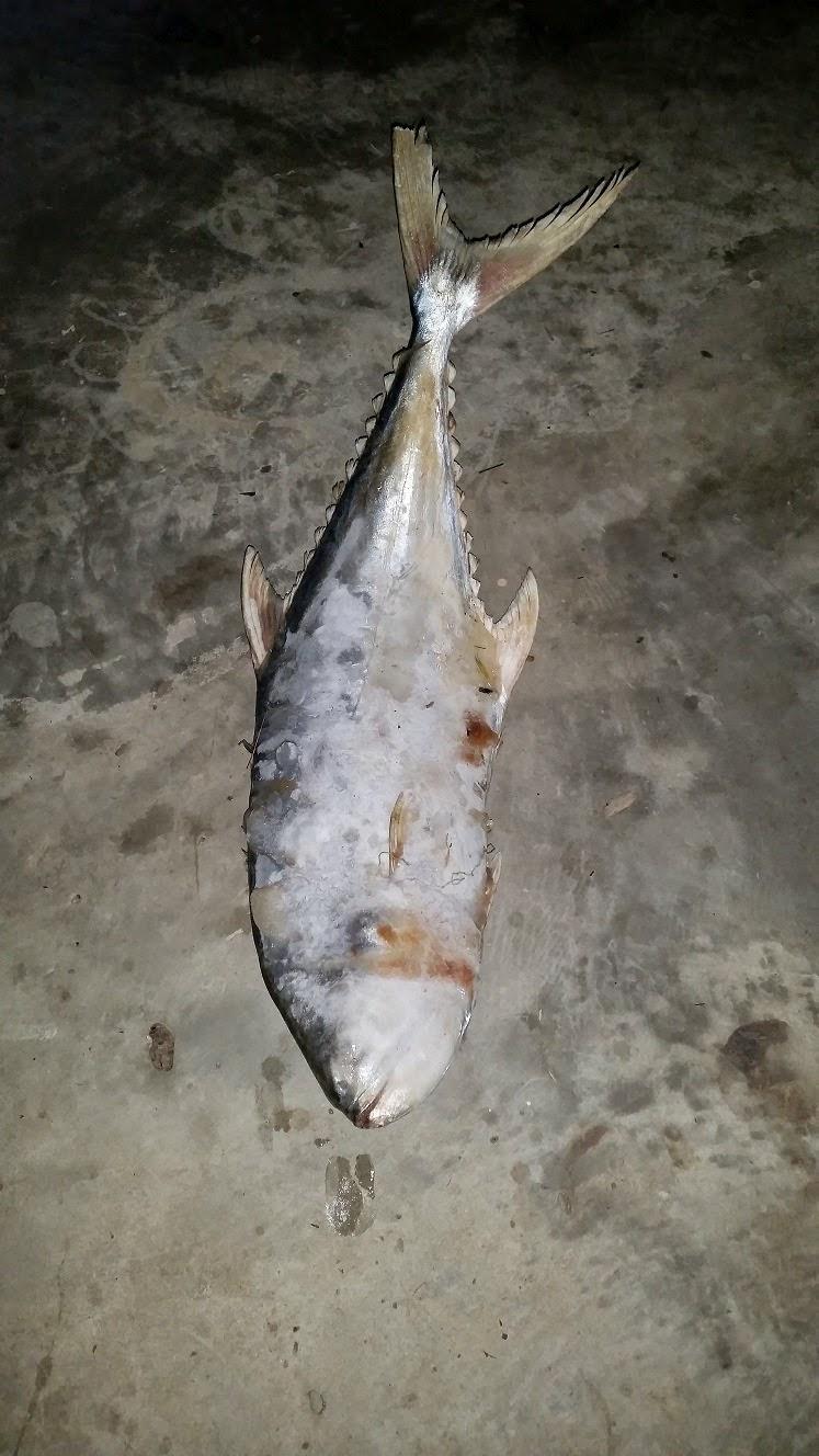 ikan besar