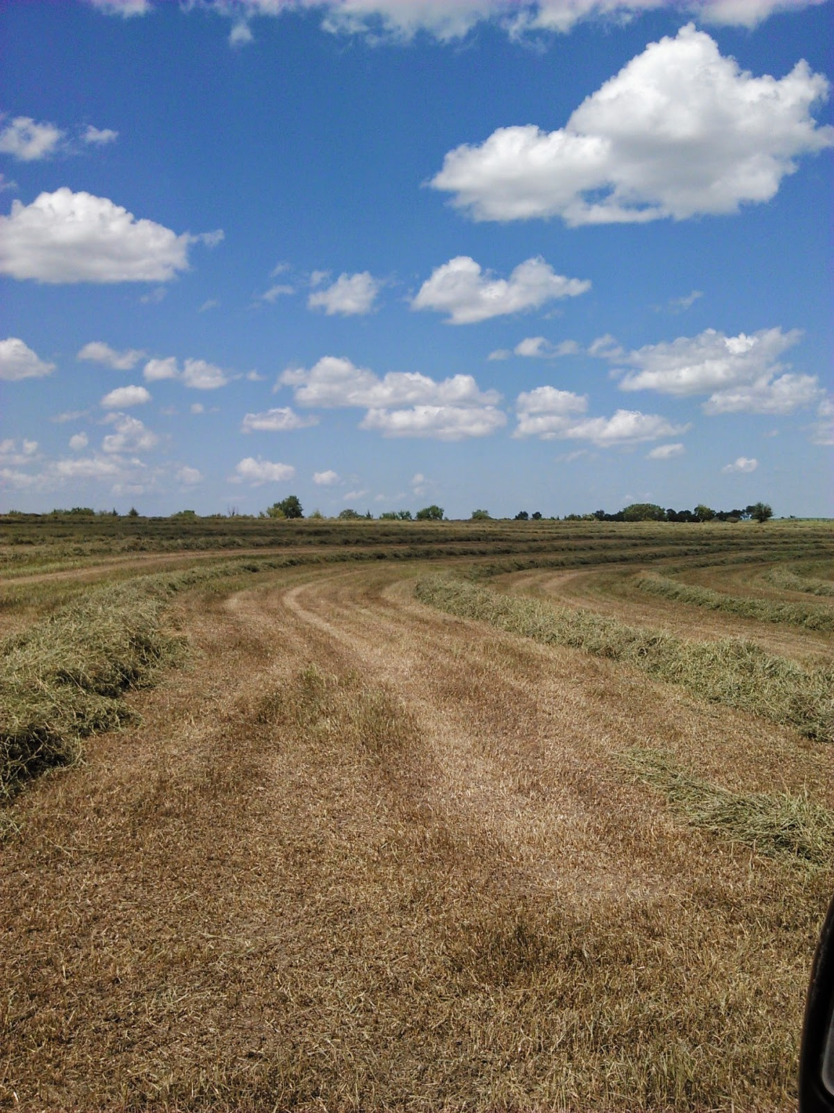 A field of one form of cellulose - grass hay - that has been mowed and will be baled soon