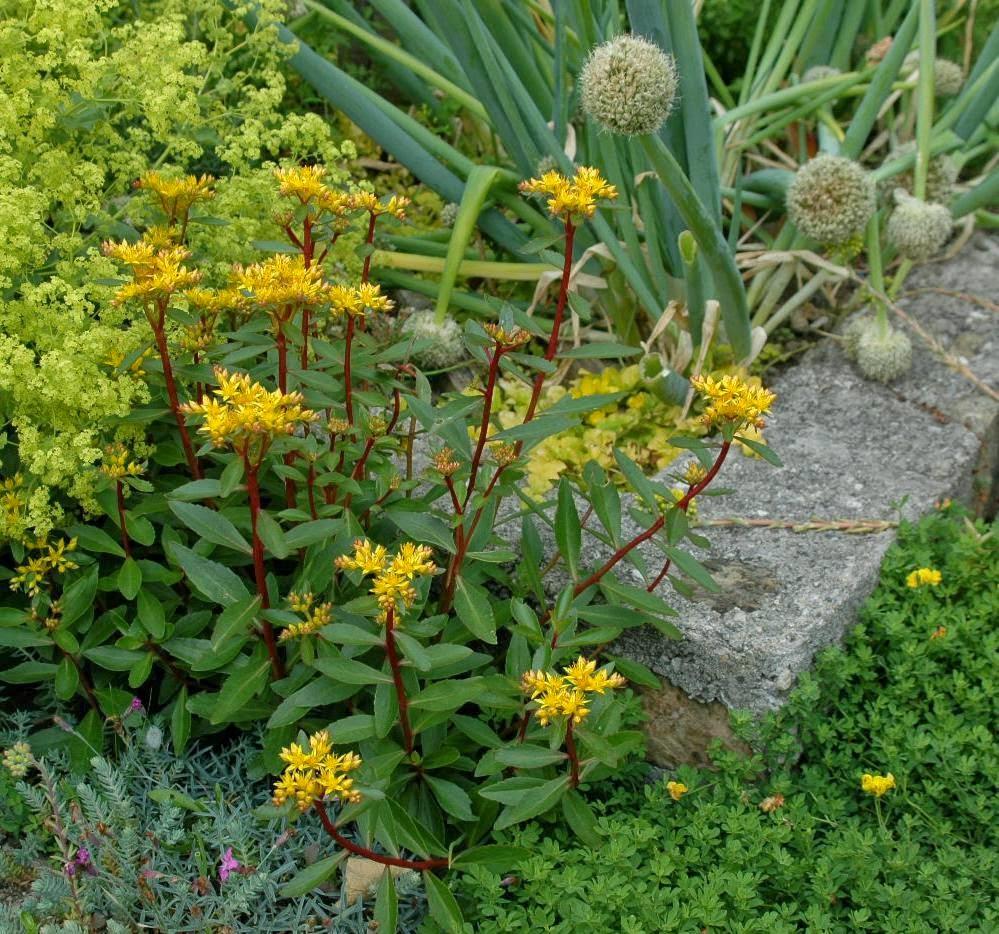 Jardin de la roche fleurie quelques orpins - Taille des groseillers ...