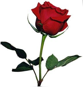 Ouvir Musicas Românticas Nacionais: Rosa