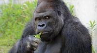 shabani handsome gorilla