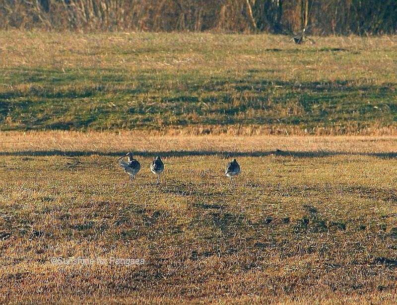 Eurasian Curlews on the Altmühlsee