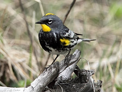 Audubon's Yellow-rump Warbler