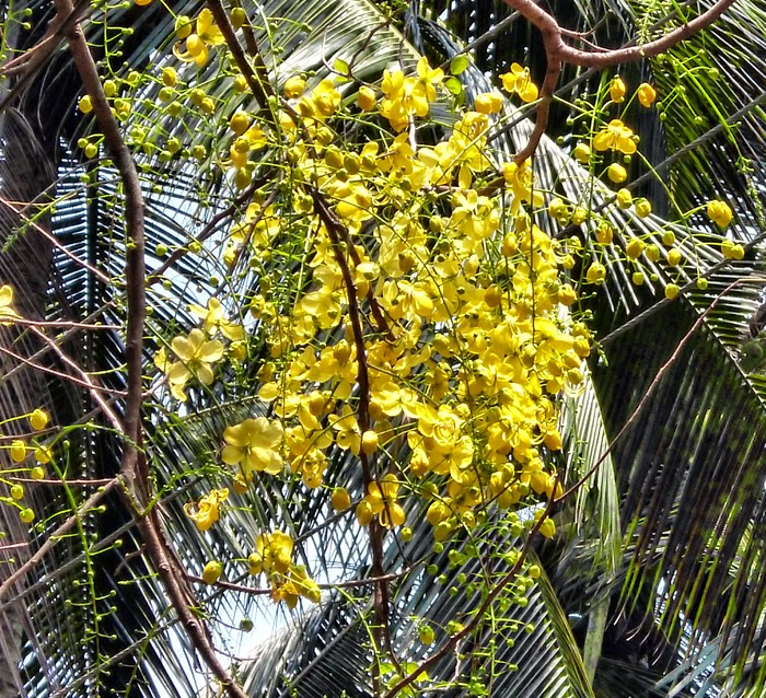 Trees Planet: Cassia fistula - Golden Shower Tree