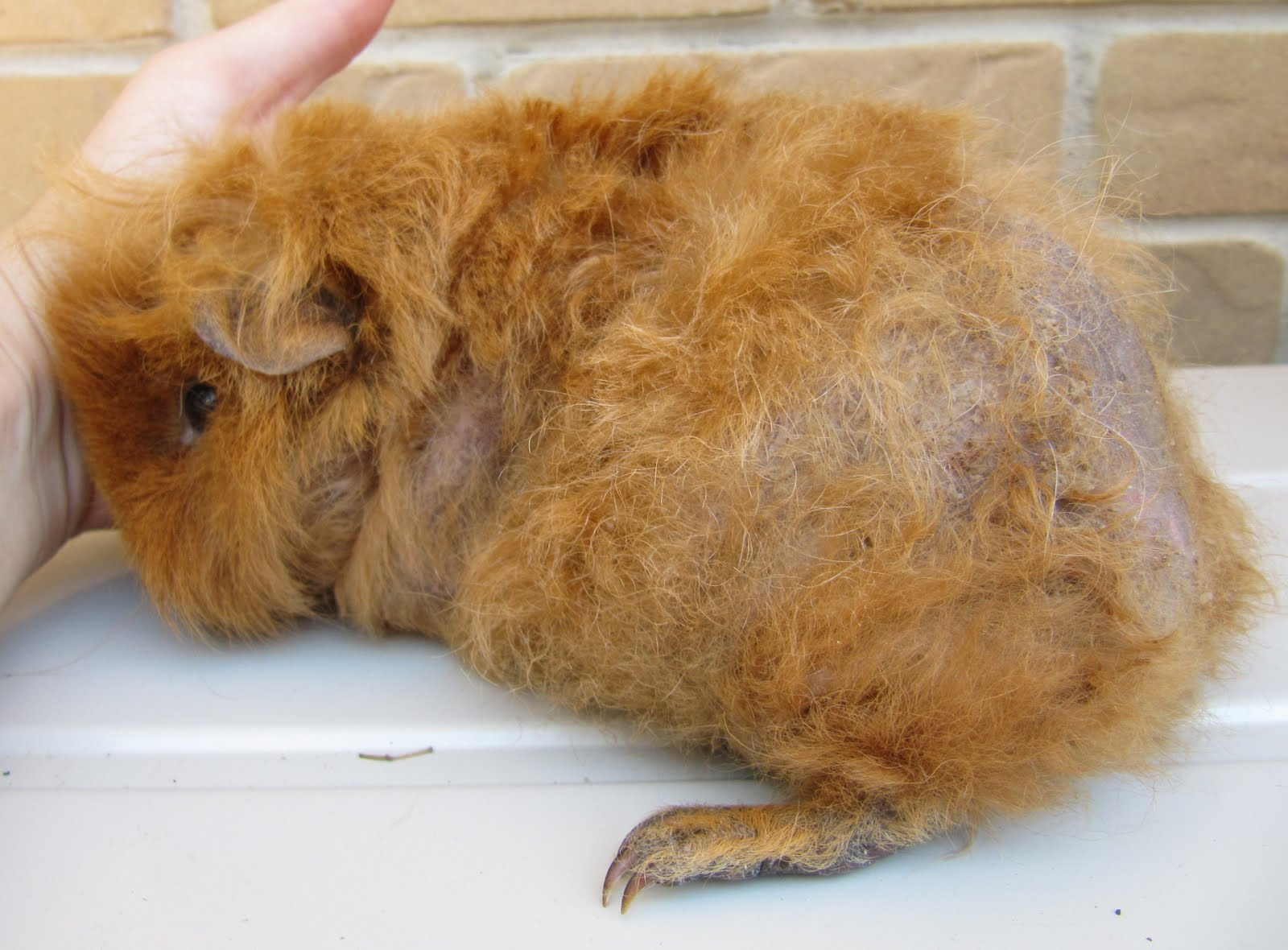 Ear Mites in Guinea Pigs http://emmasguineapigs.blogspot.com/2012/01/sahara-and-worst-case-of-neglect-ive.html