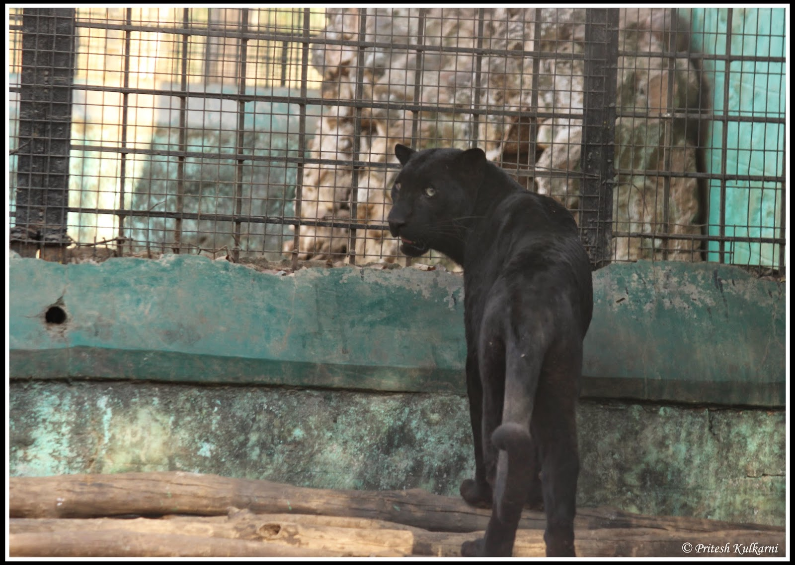 Captive Black Panther at Shimoga
