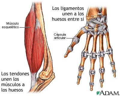 Los ligamentos | El Cuerpo Humano